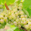 Grape white 05 — Stock Photo