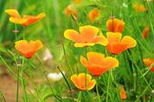 California poppy 29 — Stock Photo