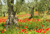 Corn poppy in olive grove 04 — Stock Photo
