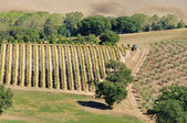 Tuscany vineyard 01 — Stock Photo