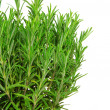 Rosemary isolated 09 — Stock Photo #10463568