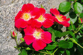 Rose red Candia 01 — Stock Photo