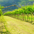 Stock Photo: Vineyard 26