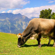 Alp cow 19 — Stock Photo