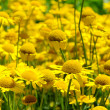 Stock Photo: Yellow Chamomile 01