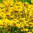 Yellow Chamomile 01 — Stock Photo
