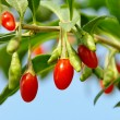 Goji berry 08 — Stock Photo #10514981