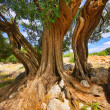 Olive tree trunk 12 — Stock Photo