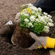 Stock Photo: Shrub planting 22