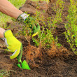 Stock Photo: Planting hedge 02