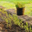 Stock Photo: Planting hedge 03