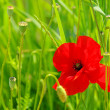 Stock Photo: Corn poppy 43