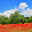 Stock Photo: Corn poppy in field 03