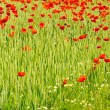 Stock Photo: Corn poppy in field 06