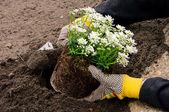 Strauch anpflanzen 22 — Stockfoto