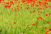 Corn poppy in field 06 — Stock Photo