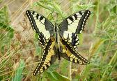 A mating pair of Machaon butterflies — Stock Photo