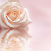 Rosy Rose — Stock Photo