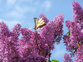 Swallowtail on the lilac bush — Stock Photo