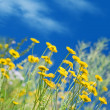 Yellow ox-eye daisy against blue sky — Stock Photo