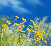 Yellow ox-eye daisy against blue sky — Stock Photo