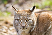 Close up of an Eurasian Lynx — Stock Photo
