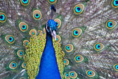 Beautiful male peacock displaying — Stock Photo