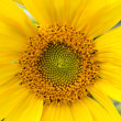 Sunflower Blossom — Stock Photo