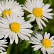 closeup of daisies — Stock Photo