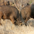Fighting Buffalos, Kruger National Park - Stock Photo