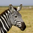 Royalty-Free Stock Photo: Close-up of a Zebra