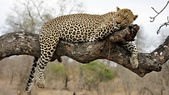 Resting Leopard on a tree — Stock Photo