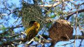 Weaver bird, Montagu, Little Karoo, South Africa — Stock Photo