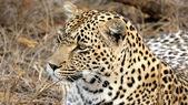 Portrait of a wild Leopard Sabi Sands — Stock Photo