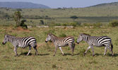 Three Zebras Walking in a row — Stock Photo