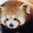 Close up of a Red Panda — Stock Photo