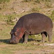Browsing Hippo — Stock Photo