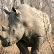 Rhinoceros, Kruger National Park, South Africa - Stock Photo