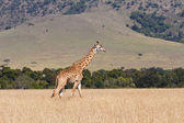 Giraffe in the Masai Mara Game Reserve — Stock Photo