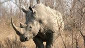 Rhinoceros, Kruger National Park, South Africa — Stock Photo