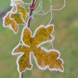 Frozen maple leaf — Stockfoto