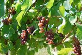 Hrozny na grapevine — Stock fotografie