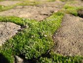 Green moos — Stock Photo