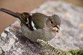 Female sparrow — Stock Photo