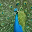Peacock with tail up - left — Stock Photo