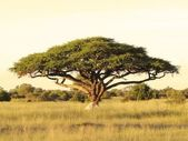 Acacia on the African plain — Stock Photo