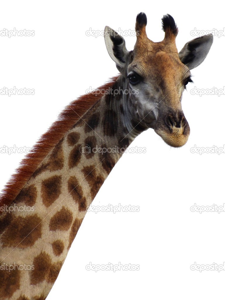giraffe head white background - photo #10