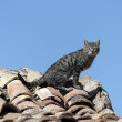 Stock Photo: Cat over roof