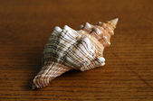 Strip shell — Stock Photo