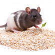 Rodent — Stock Photo #10069419
